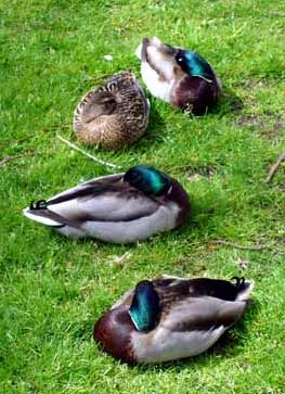 ... I had a very rewarding afternoon and would recommend all nicecupoftea  readers seek out their local duck community and give them all a bit of  attention ... 55f324a47